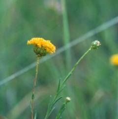 Rutidosis leptorhynchoides (Button wrinklewort) at Barton, ACT - 10 Dec 2008 by michaelb