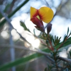 Dillwynia phylicoides (A Parrot-pea) at Acton, ACT - 21 Jun 2014 by AaronClausen