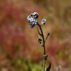 Cynoglossum australe (Australian Forget-me-not) at Tuggeranong Hill - 26 Nov 1999 by michaelb