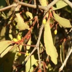 Muellerina eucalyptoides (Creeping Mistletoe) at Wanniassa Hill - 23 Jul 2014 by julielindner