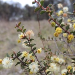 Acacia gunnii (Ploughshare Wattle) at Tuggeranong Hill - 24 Jul 2014 by michaelb