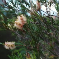 Callistemon sieberi (River Bottlebrush) at Gigerline Nature Reserve - 27 Mar 2002 by michaelb