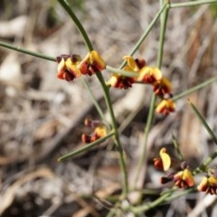 Daviesia genistifolia (Broom Bitter Pea) at Hackett, ACT - 10 Aug 2014 by AaronClausen