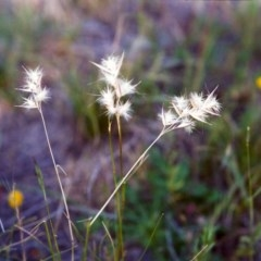 Rytidosperma laeve (Bare-backed Wallaby Grass) at Conder, ACT - 30 Nov 1999 by michaelb