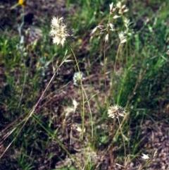 Rytidosperma carphoides (Short Wallaby Grass) at Tuggeranong Hill - 1 Dec 2000 by michaelb