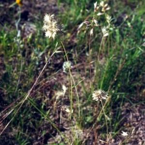 Rytidosperma carphoides at Theodore, ACT - 2 Dec 2000