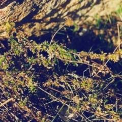 Acaena novae-zelandiae (Bidgee Widgee) at Conder, ACT - 14 Jul 2000 by michaelb