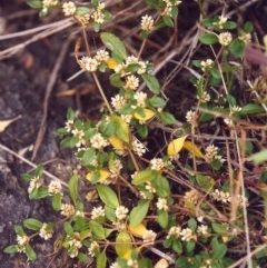 Alternanthera sp. at Conder, ACT - 24 Jan 2000 by michaelb
