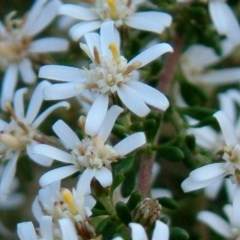 Olearia microphylla (Olearia) at Bruce, ACT - 17 Aug 2014 by julielindner