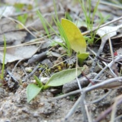 Ophioglossum lusitanicum subsp. coriaceum (Austral Adder's Tongue) at Tennent, ACT - 14 Aug 2014 by michaelb