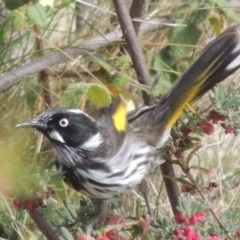 Phylidonyris novaehollandiae (New Holland Honeyeater) at Conder, ACT - 5 Sep 2014 by michaelb