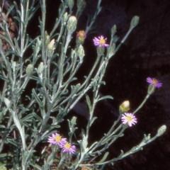 Vittadinia cuneata var. cuneata (Fuzzy New Holland Daisy) at Mulligans Flat - 23 Oct 2004 by BettyDonWood