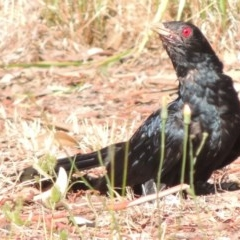 Eudynamys orientalis (Eastern Koel) at Conder, ACT - 3 Feb 2015 by michaelb