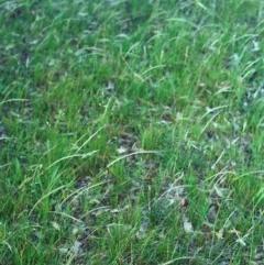 Dichelachne rara (Plume Grass) at Conder, ACT - 10 Dec 2000 by michaelb