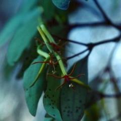 Muellerina eucalyptoides (Creeping Mistletoe) at Rob Roy Range - 10 Jan 2001 by michaelb