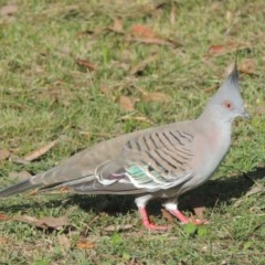 Ocyphaps lophotes (Crested Pigeon) at Conder, ACT - 1 Apr 2014 by michaelb