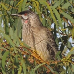 Anthochaera carunculata (Red Wattlebird) at Conder, ACT - 8 Apr 2014 by michaelb