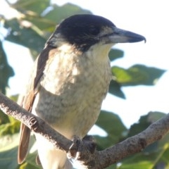 Cracticus torquatus (Grey Butcherbird) at Conder, ACT - 26 Mar 2015 by michaelb