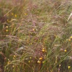 Austrostipa bigeniculata (Kneed Speargrass) at Tuggeranong Hill - 25 Nov 1999 by michaelb