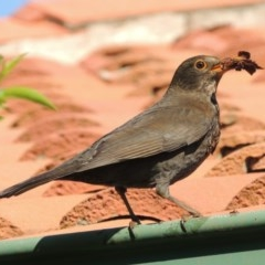 Turdus merula (Common Blackbird) at Conder, ACT - 26 Sep 2014 by michaelb