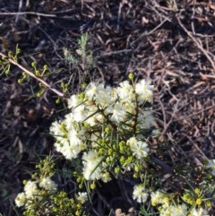 Acacia genistifolia (Early Wattle) at Dryandra St Forest - 21 Jun 2015 by ibaird