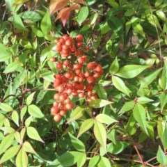 Nandina domestica (Sacred Bamboo) at Commonwealth & Kings Parks - 2 May 2015 by michaelb