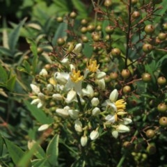 Nandina domestica (Sacred Bamboo) at Commonwealth & Kings Parks - 16 Feb 2015 by michaelb