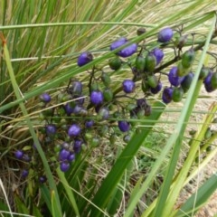 Dianella tasmanica (Tasman Flax Lily) at Sth Tablelands Ecosystem Park - 10 Dec 2014 by JanetRussell