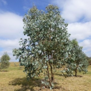 Eucalyptus albens at Sth Tablelands Ecosystem Park - 10 Mar 2015