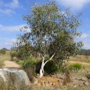 Eucalyptus pauciflora subsp. pauciflora at Sth Tablelands Ecosystem Park - 10 Mar 2015