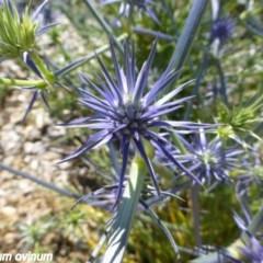 Eryngium ovinum (Blue Devil) at Sth Tablelands Ecosystem Park - 19 Nov 2014 by JanetRussell