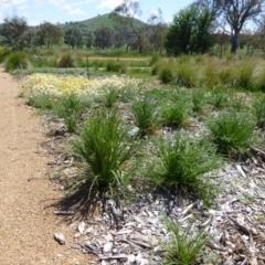 Eryngium ovinum at Sth Tablelands Ecosystem Park - 20 Nov 2014