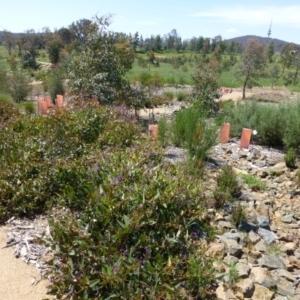 Hardenbergia violacea at Sth Tablelands Ecosystem Park - 12 Oct 2014