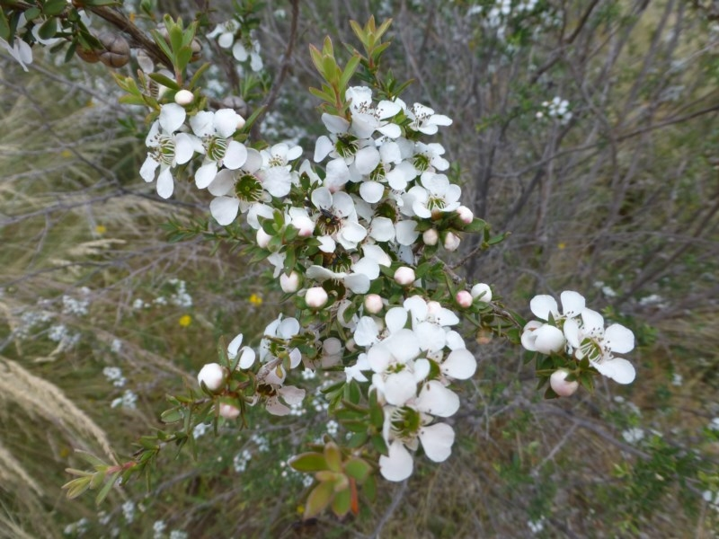 Leptospermum continentale at Sth Tablelands Ecosystem Park - 27 Nov 2014