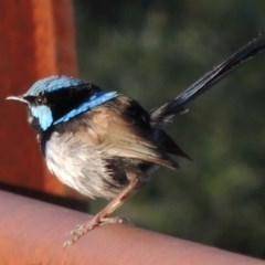 Malurus cyaneus (Superb Fairywren) at Tidbinbilla Nature Reserve - 25 Jan 2015 by michaelb