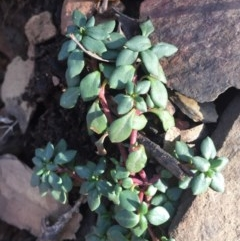 Poranthera microphylla (Poranthera) at Namadgi National Park - 28 Jun 2015 by AaronClausen