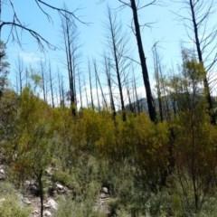 Callitris endlicheri (Black cypress pine) at Stony Creek - 15 Oct 2008 by LukeJ