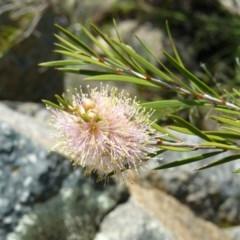 Callistemon sieberi (River Bottlebrush) at Gigerline Nature Reserve - 4 Dec 2007 by LukeJ
