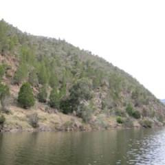 Callitris endlicheri (Black cypress pine) at Bumbalong, NSW - 17 May 2010 by LukeJ