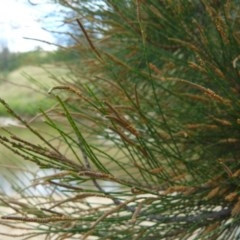 Casuarina cunninghamiana subsp. cunninghamiana (River She-oak, River Oak) at Pine Island to Point Hut - 1 Feb 2008 by LukeJ