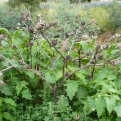 Datura stramonium (Common Thornapple) at Point Hut to Tharwa - 13 Dec 2007 by LukeJ