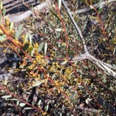 Acacia buxifolia subsp. buxifolia (Box-leaf Wattle) at Bruce Ridge - 28 Jun 2015 by ibaird