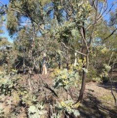 Acacia dealbata (Silver Wattle) at Bruce Ridge - 28 Jun 2015 by ibaird