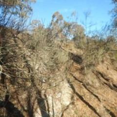 Allocasuarina luehmannii (Bulloak) at Molonglo Gorge - 4 Jul 2015 by MichaelMulvaney