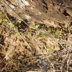 Cheilanthes distans (Bristly cloak fern) at Molonglo Gorge - 4 Jul 2015 by MichaelMulvaney
