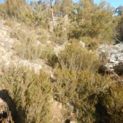 Calytrix tetragona (Common fringe-myrtle) at Molonglo Gorge - 4 Jul 2015 by MichaelMulvaney