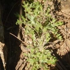 Senecio bathurstianus (Rough fireweed) at Molonglo Gorge - 4 Jul 2015 by MichaelMulvaney