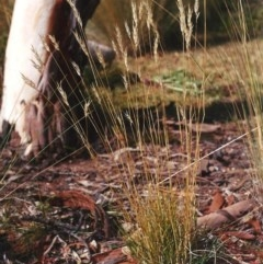 Rytidosperma erianthum (Hill Wallaby Grass) at Conder, ACT - 10 Apr 2005 by michaelb