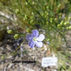 Linum marginale at Sth Tablelands Ecosystem Park - 20 Nov 2014