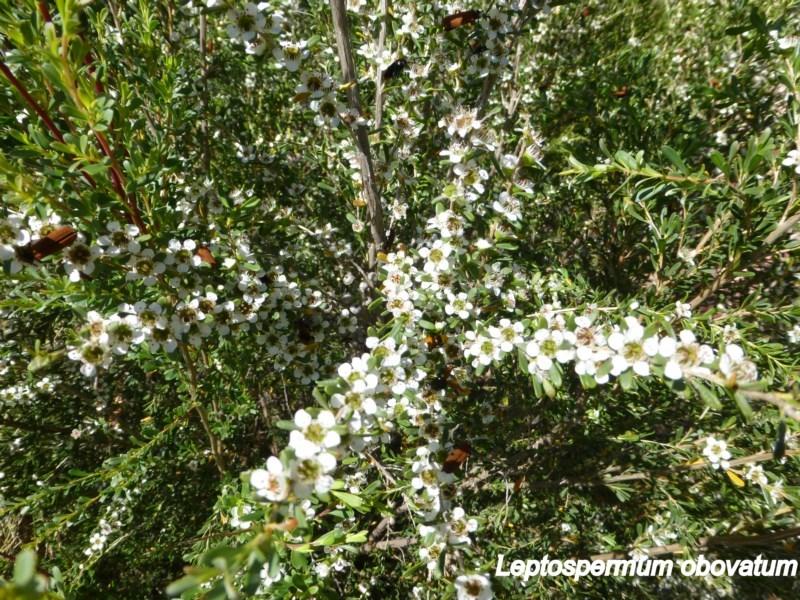 Leptospermum obovatum at Sth Tablelands Ecosystem Park - 20 Nov 2014